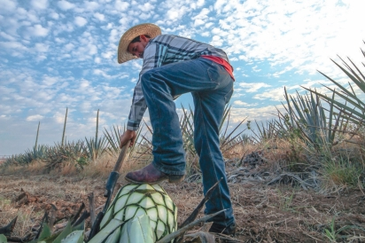 man breaking up agave plant