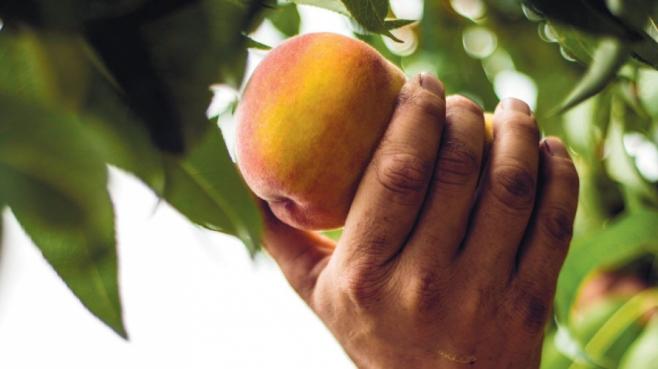 Picking Peach